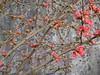 Fioritura del pirus  (Cidonia) (Eli.b.) Tags: fourseasons hiver inverno fioritura rami pirus cidonia rosso fiori flower fleurs branches pianta plant