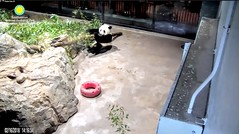 2018_02-16a (gkoo19681) Tags: beibei chubbycubby fuzzywuzzy adorableears babytub danglinglegs bootime sillygoober ifit squished spillover toocute precious toofunny nofit contentment holdingon beingadorable comfy meltinghearts justbecausehecan ccncby nationalzoo