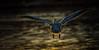 Back lit Pelican (Chris St. Michael) Tags: bird pelican birdinflight wildlife wildlifephotography water nature naturephotography