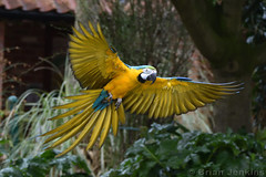 Blue-and-Gold Macaw (Bri_J) Tags: tropicalbutterflyhouse northanston southyorkshire uk butterflyhouse zoo yorkshire nikon d7200 blueandgoldmacaws macaw parrot bird yellow flight wings araararauna