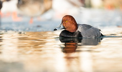 Golden Light Redhead (rmikulec) Tags: redhead birds waterfowl nature canadian geographic canada toronto humber bay wild wildlife golden sunrise pond hike