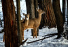 HFF ! (Leslie Victor) Tags: img8264 fence fencefridays hff deer light shadow winter wildlife nature