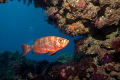 Priacanthus hamrur Crescent-tail Bigeye (Marine Explorer) Tags: scuba nature marine underwater australia marineexplorer