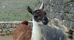 Llama of Machu Picchu , Peru - P3024977 (Toby Garden) Tags: machu picchu llama wild chinchilla