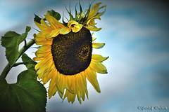 Rise and Fall of a Prima Donna (gustaf wallen) Tags: riseandfallofaprimadonna ♡primadonna♡ primadonna ageing old oldsunflower sunflower