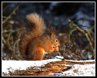 IMG_0217 Red Squirrel
