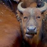 Congo Buffalow thumbnail