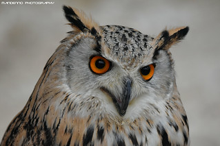 Siberian Eagle Owl - Falconry Fair