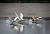 Cigni (Teone!) Tags: birdwatchin cignoreale cygnusolor muteswan vallevecchia brussa caorle venezia venice italy veneto wildlife takeoff decollo