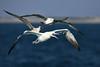 Fou de Bassan. (MaqPhi) Tags: foudebassan mer sea eau bleu oiseau bird goeland france gard animals animaux canon eos 5d 300mm f28l is ii usm flickrunitedaward explore
