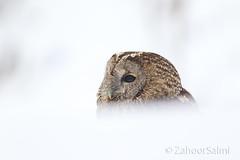 Himalayan Tawny Owl (Zahoor-Salmi) Tags: zahoorsalmi salmi wildlife pakistan wwf nature natural canon birds watch animals bbc flickr google discovery chanals tv lens camera 7d mark 2 beutty photo macro action walpapers bhalwal punjab