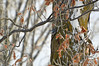 Bird watching in winter (ctberney) Tags: whitebreastednuthatch sittacarolinensis small bird winter trees leaves snow nature