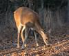 Button buck (Lindell Dillon) Tags: buck deer whitetail wildlife nature oklahoma crosstimbers sunbeams goldenhour sunlight wildoklahoma