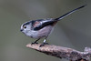 Long Tailed Tit (Simon Stobart) Tags: long tailed tit aegithalos caudatus brach northeast england coth5 ngc naturethroughthelens npc