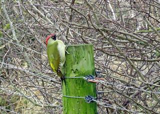 Green Woodpecker - Picus viridis
