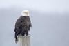 Winter Eagle (adamhillstudios) Tags: bird avian bald eagle wildlife winter snow