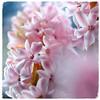 - Hyacintuhus - (HORB-52) Tags: hyacinthus berndsontheimer badenwürttemberg blumen blüte