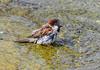 Moineau au bain (Diegojack) Tags: morges vaud suisse oiseaux moineaux bains gouttes toilette
