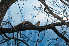 mésange bleue_2140 (Luc Barré) Tags: mésange bleue oiseau oiseaux bird birds garden jardin arbres arbre
