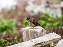 A Bird On a Wooden Fence. (Seymour Lu) Tags: whitecrownedsparrow avian california halfmoonbay feathers wings animals fence whitecrowned sparrow bird zonotrichialeucophrys