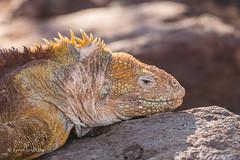Land Iguana 500_3947.jpg (Mobile Lynn - Limited internet) Tags: wild reptiles landiguana iguana nature conolophussubcristatus fauna reptile wildlife northseymour galapagosislands ecuador ec coth specanimal coth5 ngc npc