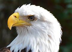 American Bald eagle (npbiffar) Tags: bird eagle outdoor raptor bald npbiffar 70300mm d7100 nikon white