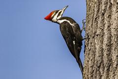 Pileated Woodpecker (will139) Tags: pileatedwoodpecker piciformes woodpecker bird beak feathers eaglecreek indianapolisindiana large avian