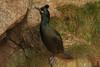 IMG_0982 (monika.carrie) Tags: monikacarrie wildlife scotland aberdeenshire ythan bullersofbuchan shag