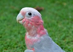 DSC_0008 (9) (RUMTIME) Tags: bird galah nature coochiemudlo coochie queensland coth5