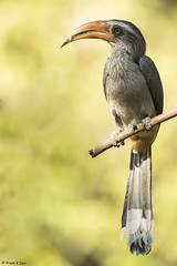 # Malabar Grey Hornbill........... (Prem K Dev) Tags: malabargrey hornbill beautiful bird brown bokeh wildlife wonderful avian pose perched colourful thattekad tree kerala indian subcontinent
