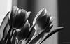 Monochrome tulips (frankdorgathen) Tags: zeiss bokeh minimalistic minimalism backlight light sun closeup macro makro monochrome blackandwhite home indoor stilllife nature tulip flower plant flora