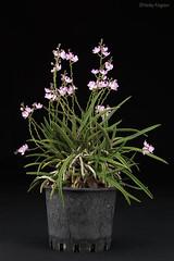 Sarcochilus ceciliae (Harlz_) Tags: sarcochilusceciliae orchid species sarcochilus australia canon 5dmarkii native plant flower
