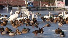 Ostróda (Sylwester Ch.) Tags: ostroda ostrode masuria mazury jezioro see lake drweckie lac ptak ave bird oiseau vogel uccello zima winter poland cygnus olor anas platyrhynchos