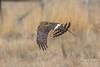 Female Northern Harrier on patrol (TonysTakes) Tags: harrierhawk harrierhen hawk raptor bird colorado weldcounty wildlife coloradowildlife