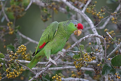 Red-crowned Parrot (Alan Gutsell) Tags: birds birding wildlife nature alan texas texasbirds photo statepark redcrowned parrot redcrownedparrot fruit red crowned