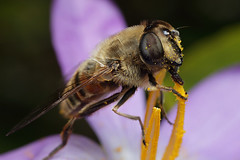 Dronefly hoverfly feeding on crocus flower #3 (Lord V) Tags: macro bug insect hoverfly dronefly