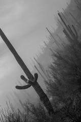 Tum07_small (patcaribou) Tags: tucson tumamochill sonorandesert fog cactii saguarocactus