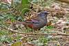 Maroon-backed Accentor - Prunella immaculata (Roger Wasley) Tags: maroonbackedaccentor prunellaimmaculata wild bird westbengal india asian himalayas