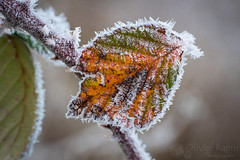 Couleurs givrées (Olivier Rapin) Tags: givre hiver olivierrapinphotographie sonya77mkii tamron90mmmacro ice feuille macro