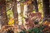 Attacking mum (Nedko Nedkov) Tags: autumn bavaria fall cub kid kitten lynx mum wildlife