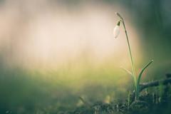 Solitary Beauty (michel1276) Tags: olympus zuiko 18028 makro macro flower schneeglöckchen bokeh bokehlicious bokehful manualfocus vintagelens
