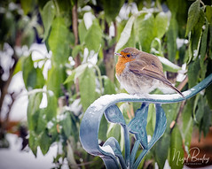 ROBIN 17 (Nigel Bewley) Tags: robin erithacusrubecula garden backyard ealing london england uk w5 wildlife naturalhistory greatoutdoors wildlifephotography endangeredwildlife bird birds avian birdlife distinguishedbirds birdwatcher creativephotography artphotography unlimitedphotos march march2018 nigelbewley photologo winterwatch rspb winter cold freezing beastfromtheeast frozen icicle springwatch bigfreeze lessthanzero