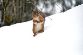 Red squirrel visiting the garden - Norway