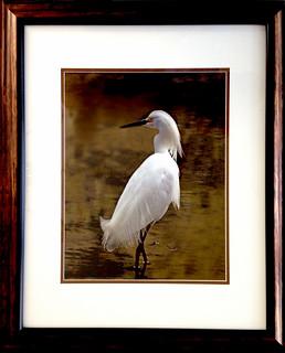 Favorite Snowy Egret