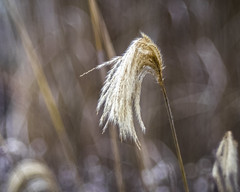 Blonde Highlights (Fourteenfoottiger) Tags: blonde golden reeds reedbeds highlights stems grasses grass soft gentle nature plants winter wetlands countryside bokeh softbokeh textures patterns manualfocus meyergorlitztrioplan28100mm dof depthoffield