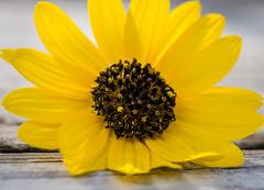 Sonrisa amarilla (risaclics) Tags: make me smile 60mmmacro 7dw march2018 nikond610 flora flowers yellow makemesmile smileonsaturday sunnyyellow