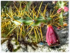 Prickly Pear (plismo) Tags: fruit cactus macro cayolargodelsurairport isladelajuventud cuba cayolargodelsur cayolargo playablanca cayolargoplayablanca pricklypear opuntia