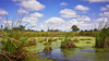 Ponds, cows and summer clouds... (Joshua Perera Photography) Tags: cows clouds countryside landscape sony a7r zeiss 35mm f28 grass reeds water lake dam algae sky hills trees