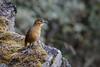 Tawny Antpitta (S.G.Davis) Tags: antpitta tawny highland ecuador mountain