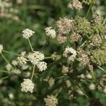 Great Basin angelica, Angelica kingii thumbnail